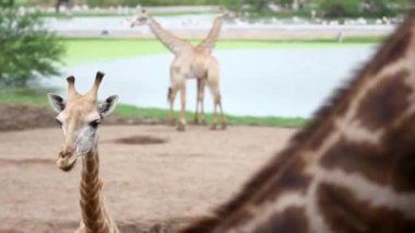 Giraffes in the zoo safari park. HD. 1920x1080 — Stock Video