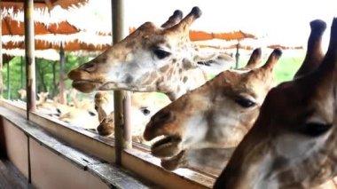 Man feeds giraffes in Safari park. Bangkok, Thailand. HD. 1920x1080 — Stock Video