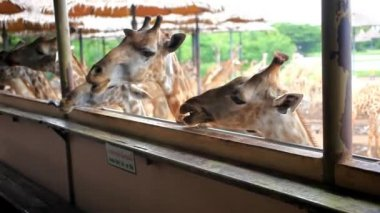 Herd of Giraffes in a Safari Park. Bangkok, THailand. HD. 1920x1080 — Stock Video
