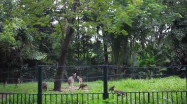 Group of Eastern Kangaroo in Safari park. HD. 1920x1080 — Stock Video