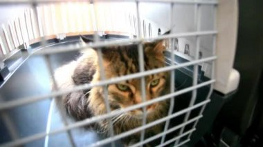Traveler Maine coon Cat in cage inside the plane. HD. 1920x1080 — ストックビデオ