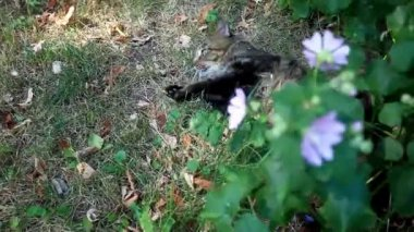 Maine coon cat playing in grass near flower. Selective focus, HD. 1920x1080 — Vídeo de stock