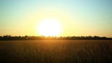 Sunny wheat field take from the car in sunset time. HD. 1920x1080 — Stock Video