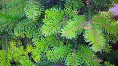 Branch of a coniferous tree. HD. 1920x1080 — Stock Video