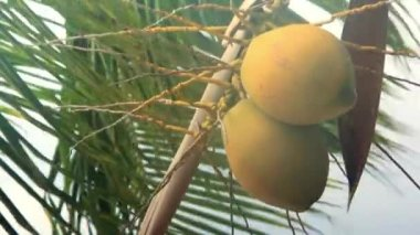 Coconuts on a palm tree swaying in the wind and rainy — Stock Video