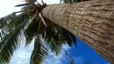 Palm tree with coconut  on blue sky — Stock Video