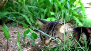Maine Coon black tabby cat with green eyelying down and smelling the grass. Macro video shift motion — Stock Video