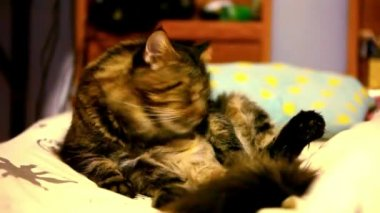 Maine coon cat sitting on his back and cleaning itself. Video shift motion — Stock Video