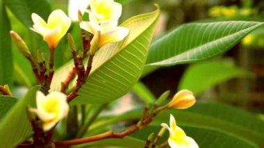 Close up plumeria frangipani flowers . Video macro shift motion — Stock Video