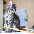 Portrait of blue tabby color Maine coon kitten — Stock Photo #66187267