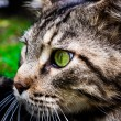 Maine Coon black tabby cat with green eye lying on grass. Macro — Stock Photo #66185237