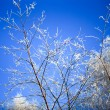 Snowy birch branches in winter sunny day against clear blue Winter sky — Stock Photo #66185767
