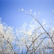 Snowy birch branches in winter sunny day against clear blue Winter sky — Stock Photo #66185777