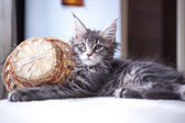 Portrait of blue tabby color Maine coon kitten — Stock Photo