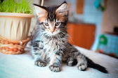 Black tabby color Maine coon kitten playing — Stock Photo