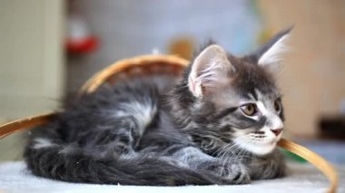 Blue tabby color Maine coon kitten. HD. 1920x1080 — Stock Video