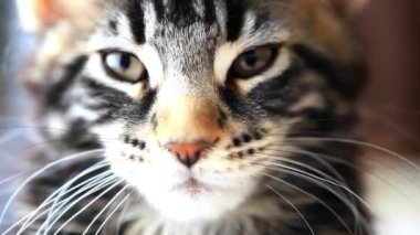 Dormant Black tabby color Maine coon kitten close up. HD. 1920x1080 — Stock Video