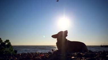 Homeless dog eats a fish on a sunset beach at blurred bokeh background and fly birds — Stock Video