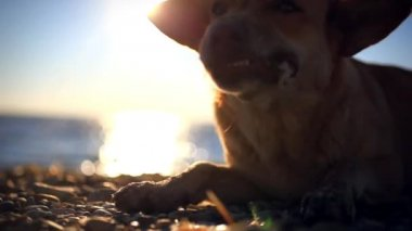 Homeless dog eats a fish on a sunset beach at blurred bokeh background — Stock Video