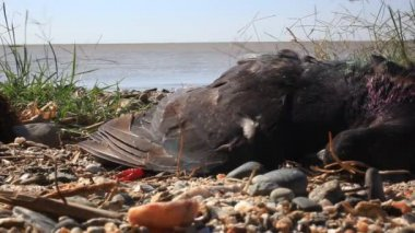 Flies fly around dead birds on the shore dirty pebble beach — Stock Video