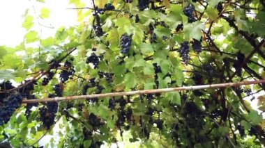 Several bunches of ripe grapes on the vine outdoor — Vidéo