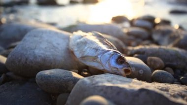 Dead fish at the beach after some environmental disaster, sunset time. Have a sound of splashes waves — Stock Video