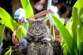 Attentive Cat Maine Coon looking around at nature — Stock Photo