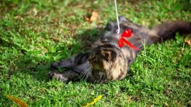 Vid os vendre en lien avec tigr s quences libres de droits en lien avec tigr depositphotos - Herbe a chat seche ...