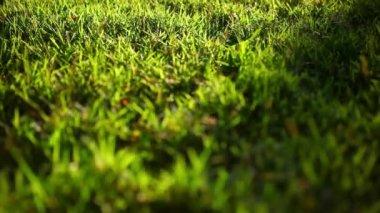 Zelené trávě povrch na západ slunce. Video s posun, změna v zaměření a bokeh — Stock video