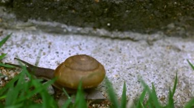 Crawler snail on the grass — Stock Video