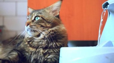 Cat maine coon lying near the fountain automatic waterers for animals — Stock Video