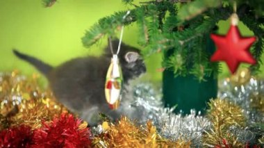 Maine coon blue kitten playing under  Christmas tree on green background — Stock Video