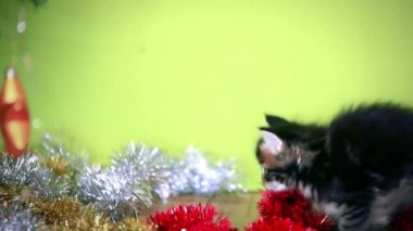 Maine coon black kitten playing under  Christmas tree on green background — Stock Video