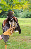 Falcon with Handler — Stock Photo