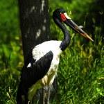 Saddle Billed Stork — Stock Photo #69767203