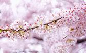 Sakura blossom flower — Stock Photo