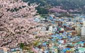 Sakura tree at Gamcheon Culture Village, Busan — Stock Photo