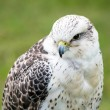 Lanner Falcon — Stock Photo #54362883