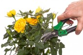 Yellow rose and hand with secateur — Photo