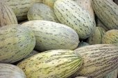 Background of oblong melons — Stock Photo