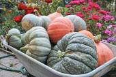 Various pumpkins in the garden wheelbarrow — Stock Photo