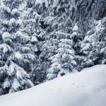 Winter pine trees — Stock Photo #57356509