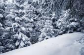 Vintern tallar — Stockfoto