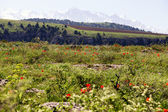 Meadow of wild tulips on the background of snowy mountains — Stock Photo