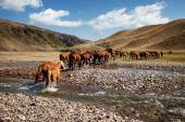 Herd of horses and river — Stock Photo