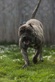 Presa Canario, dogo Canario, dog — Stock Photo