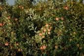 Zahrada jablko — Stock fotografie