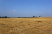 Złoty ściernisko pod błękitne niebo — Zdjęcie stockowe
