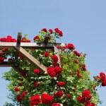 Rose arbor — Stock Photo #75230333