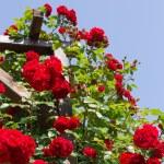Rose arbor — Stock Photo #75288729